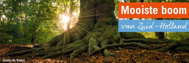 De mooiste boom van Zuid-Holland