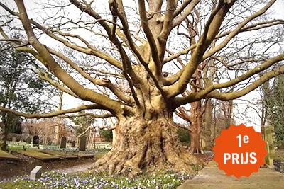 Mooiste boom van Zuid-Holland